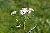 Blüte der weißen Schafgarbe