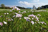 Blumenwiese im Frühling mit Wiesenschaumkraut