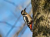 Großer Buntspecht, Weibchen am Baum