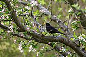 Amsel Männchen im Frühling in blühendem Apfelbaum