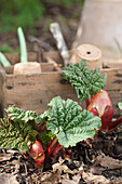 Emerging rhubarb plants
