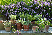 Various types of thyme in terracotta pots