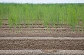 Grüner Spargel auf dem Feld
