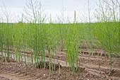 Green asparagus in a field