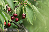 Sweet cherries on the branch