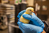 Baby chicks at feeder station respond to caresses from caregiver wearing latex gloves