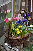 Frühlingskorb mit Narzissen, Tulpen, Traubenhyazinthen und Netziris
