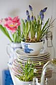 Frühling in der Küche mit Traubenhyazinthen in Tassen gepflanzt