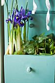 Netziris und Efeu in Schublade gepflanzt