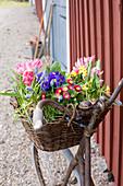 Altes Fahrrad mit Frühlingsblumen im Fahrradkorb