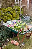 Schubkarre mit Frühlingsblumen zum Einpflanzen im Garten