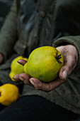 A hand holding quinces