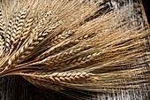 Ears of emmer wheat