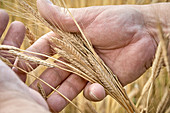 A hand holding ears of einkorn wheat