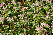 Flowering buckwheat