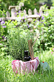 Rosemary tincture and fresh rosemary in the garden