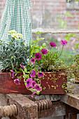 Balkonkasten bepflanzt mit Nelke, Petunie, Kapkörbchen und Drahtwein