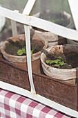 Basilikum-Sämlinge im Mini-Gewächshaus