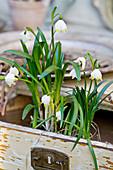Blühende Märzenbecher in alter Schublade