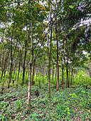 Rubber tree plantation, Hevea brasiliensis, Guatemala