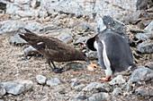 Antarctic skua steeling gentoo penguin egg