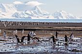 Chinstrap penguin breeding colony