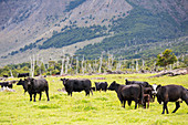 Cattle on deforested land, Chile