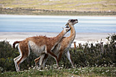 Male guanacos fighting, Patagonia, Chile