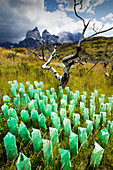 Trees planted after bush fires, Patagonia, Chile