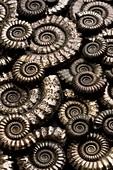 Pyritised ammonite fossils