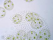 Volvox green algae, light micrograph