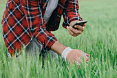 Agronomist taking photo of wheat crop with smartphone