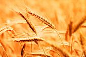 Ripe barley crop in field