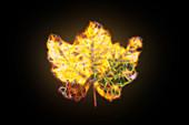 Maple leaf, illustration