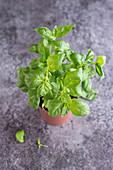 Fresh basil in a pot