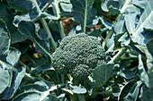 Brokkoli an der Pflanze