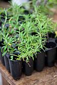 Rosemary in seed tray
