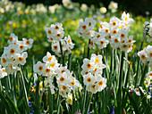 Blumenwiese mit Tazetten-Narzisse 'L'innocence' im Frühling