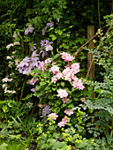 Clematis 'Innocent Blush', Clematis 'Mrs. Cholmondeley', Clematis 'Innocent Glance' (von links nach rechts)