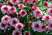 Chrysantheme 'Tonka Pink'