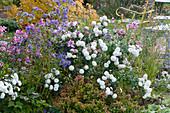 Herbstbeet mit Chrysanthemen, Herbstanemonen, Astern und Abelie 'Kaleidoscope'