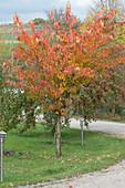 Zierkirsche in Herbstfarben, dahinter Zierapfelbäume
