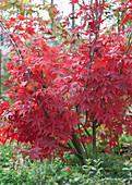Japanischer Fächerahorn mit leuchtend rotem Herbstlaub
