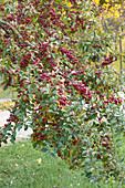 Zierapfelbaum 'Evereste' mit roten Früchten