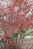 Felsenbirne mit rotem Herbstlaub