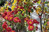 Chrysantheme 'Schwabenstolz' und Zierapfel 'Evereste'