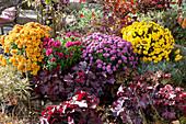 Herbstbeet mit Chrysanthemen, Purpurglöckchen, Wolfsmilch und Heiligenkraut