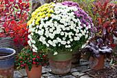 Chrysantheme als Farbmix-Trio, Scheinbeere 'Winter Pearls' und Purpurglöckchen