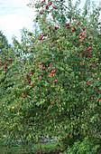 Apfelbaum mit roten Äpfeln im Spätsommer