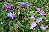 Herbstzeitlose 'Lilac Wonder' ungefüllt mit weißem Auge, 'Waterlily' gefüllt, hinten einfache Herbstzeitlose